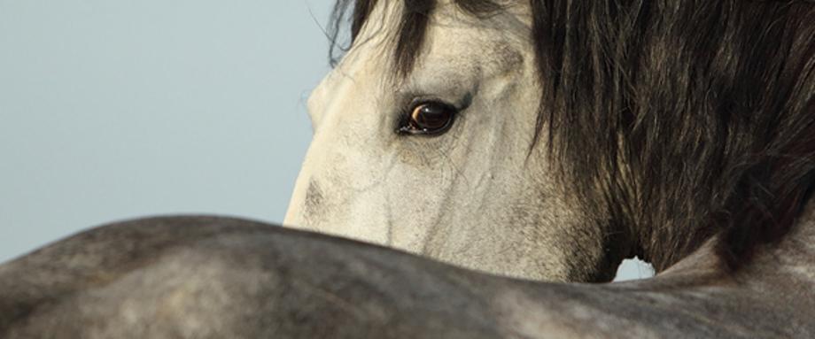 Schimmel Pferd, Krüschener Hof, Velbert